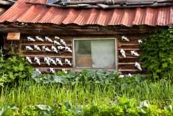 Wolf skulls on the back of Jack Reakoff's cabin in Wiseman, Alaska